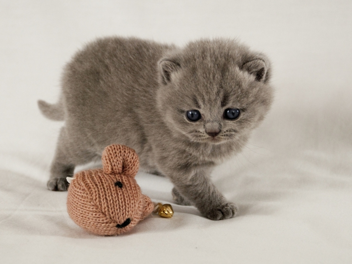 Scottish Fold Kitten for 1152 x 864 resolution