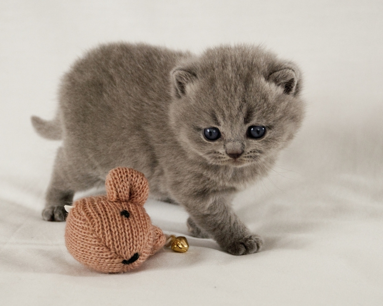 Scottish Fold Kitten for 1280 x 1024 resolution