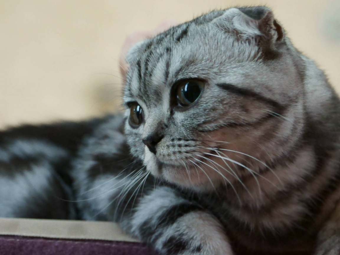Scottish Fold Kitty for 1152 x 864 resolution