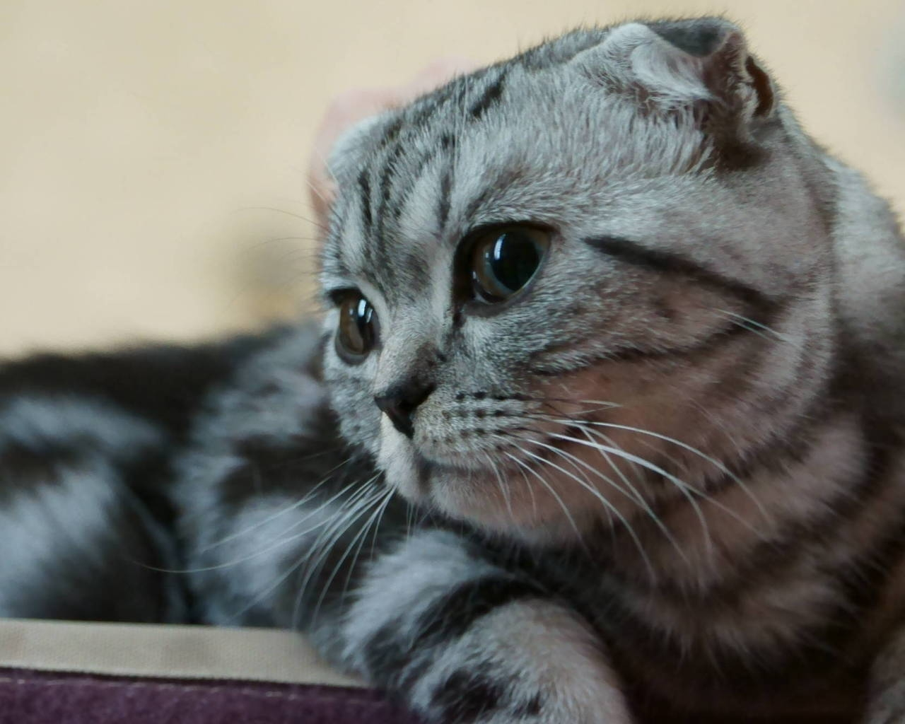 Scottish Fold Kitty for 1280 x 1024 resolution