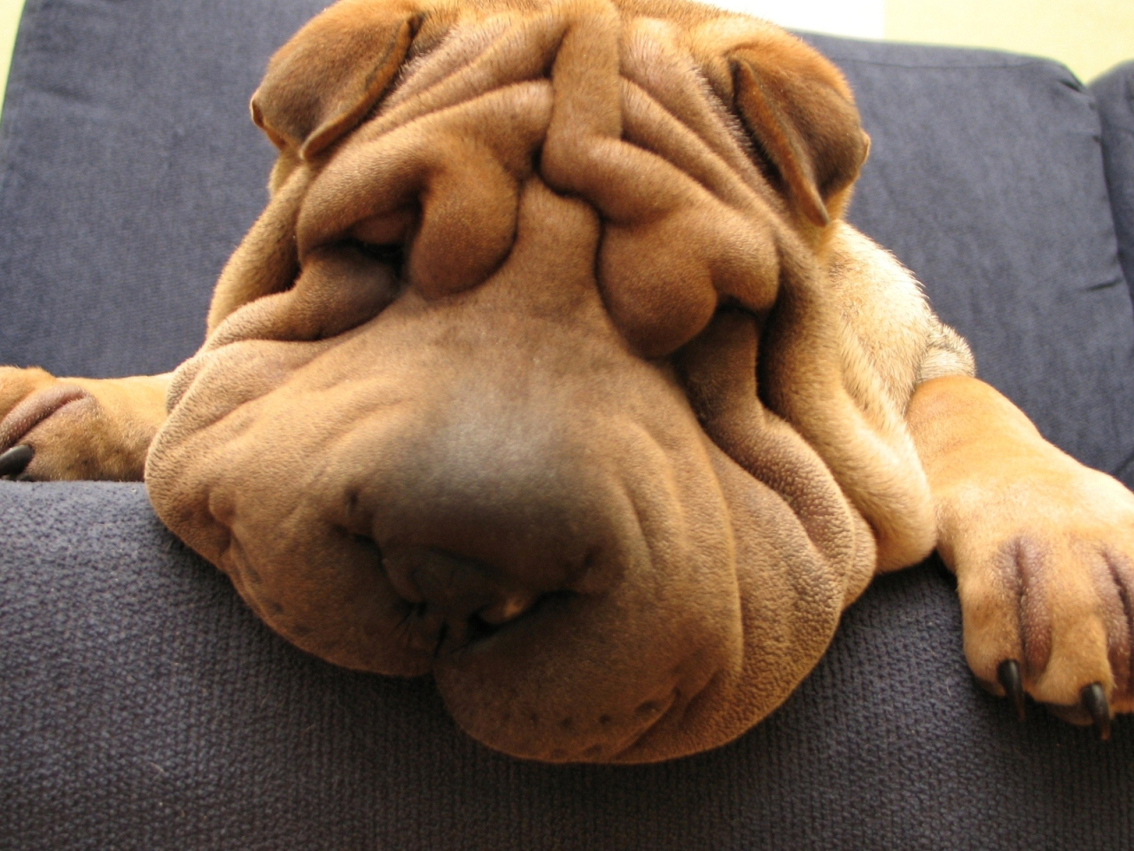 Shar Pei Dog for 1280 x 960 resolution