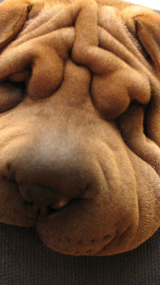 Shar Pei Dog for 640 x 1136 iPhone 5 resolution