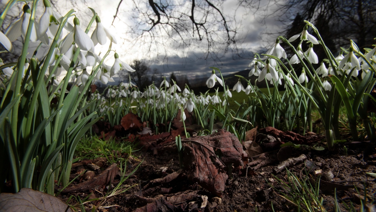 Spring Snowdrops for 1280 x 720 HDTV 720p resolution