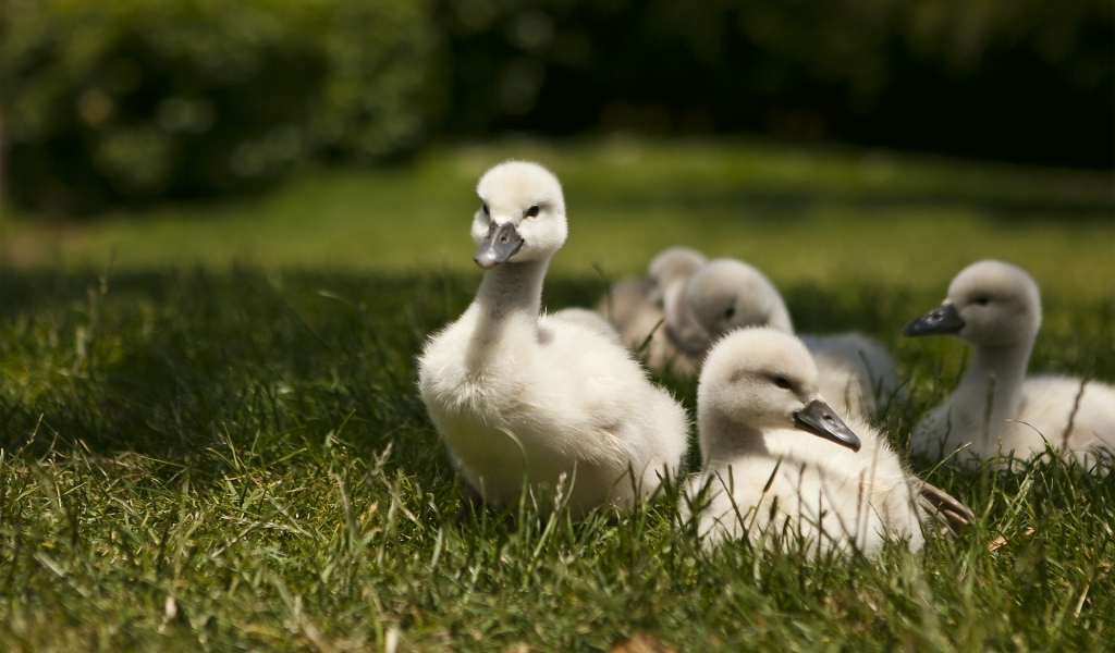 Sweet Baby Swans for 1024 x 600 widescreen resolution