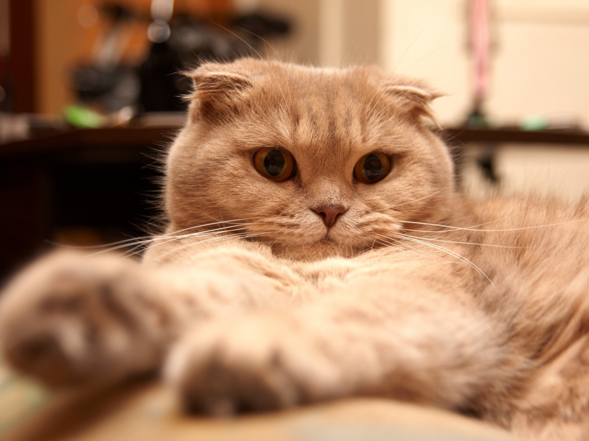 Tired Scottish Fold Cat for 1152 x 864 resolution