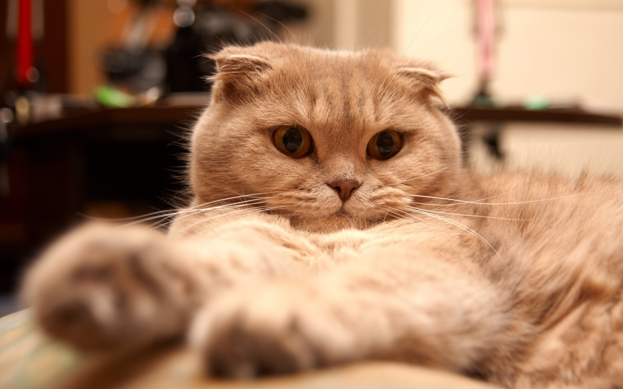 Tired Scottish Fold Cat for 1280 x 800 widescreen resolution