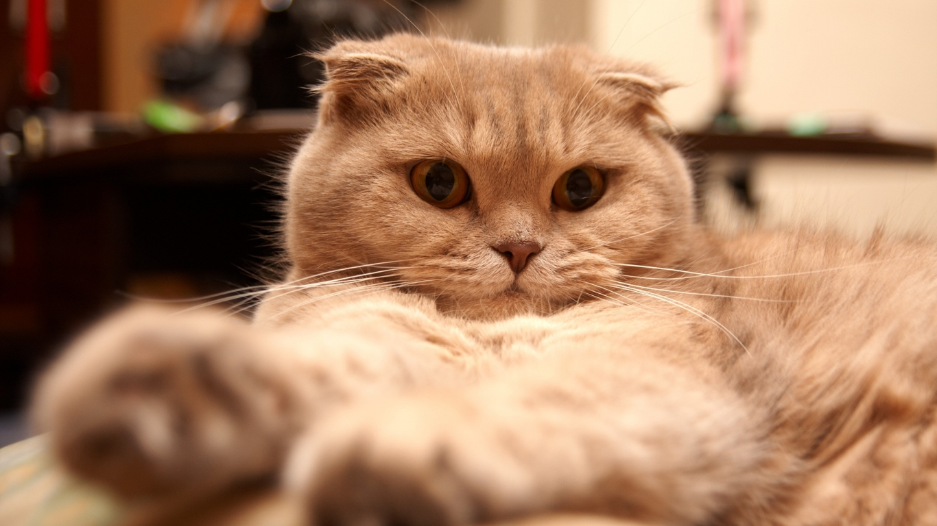 Tired Scottish Fold Cat for 1366 x 768 HDTV resolution