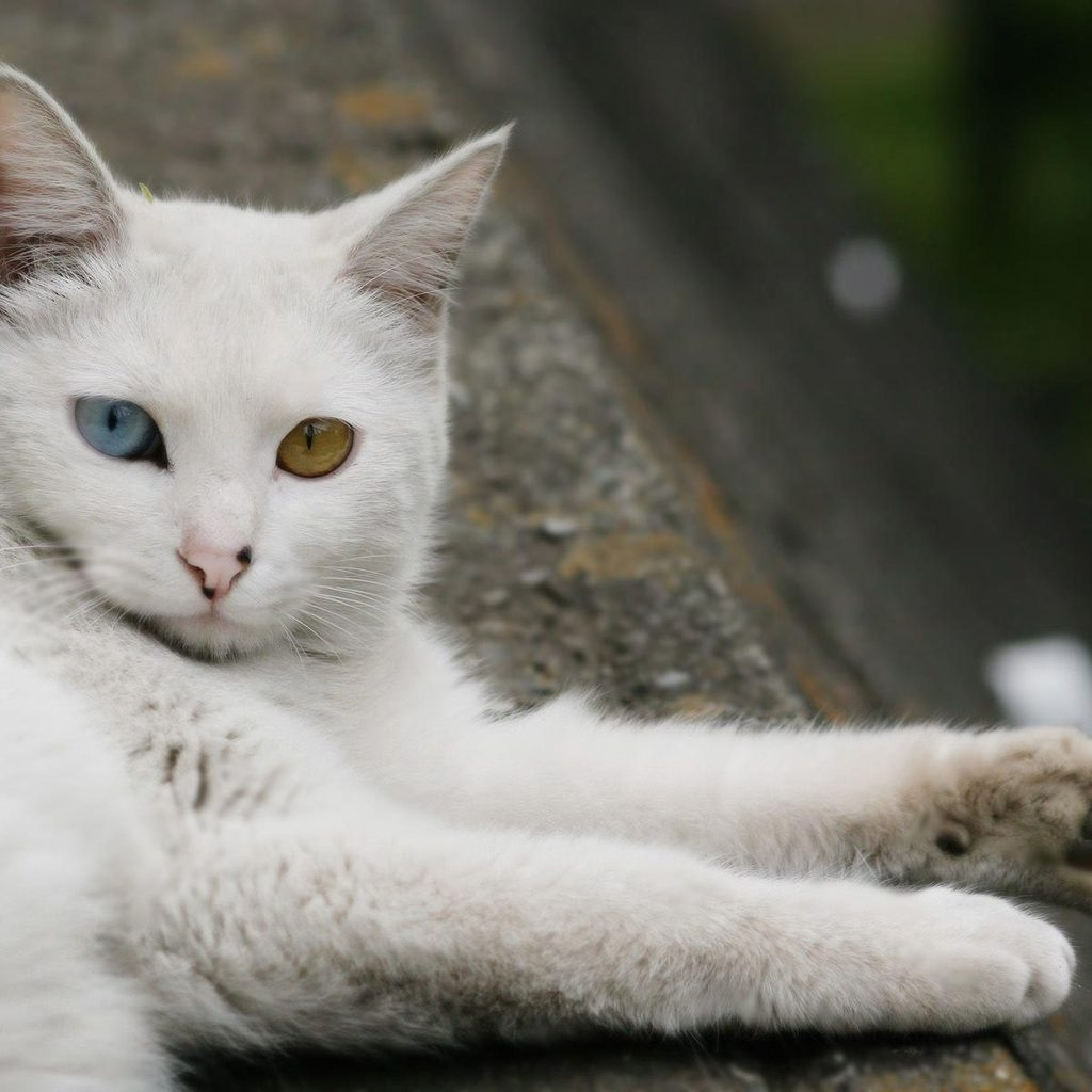 Turkish Angora Cat Laying Down for 1024 x 1024 iPad resolution
