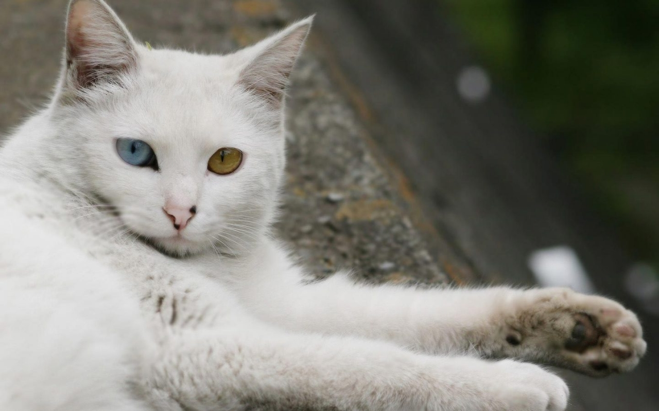 Turkish Angora Cat Laying Down for 1280 x 800 widescreen resolution