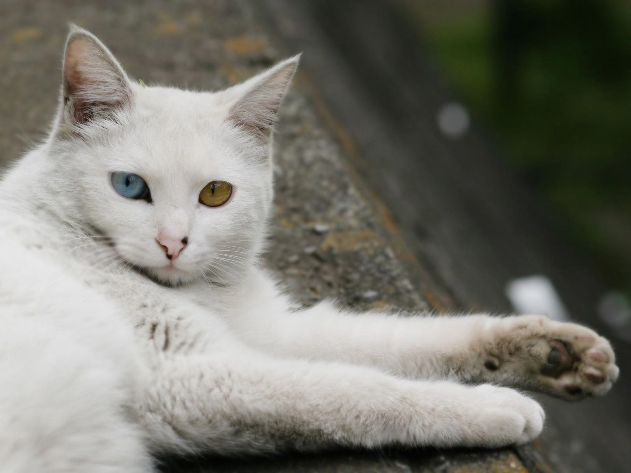 Turkish Angora Cat Laying Down for 1280 x 960 resolution
