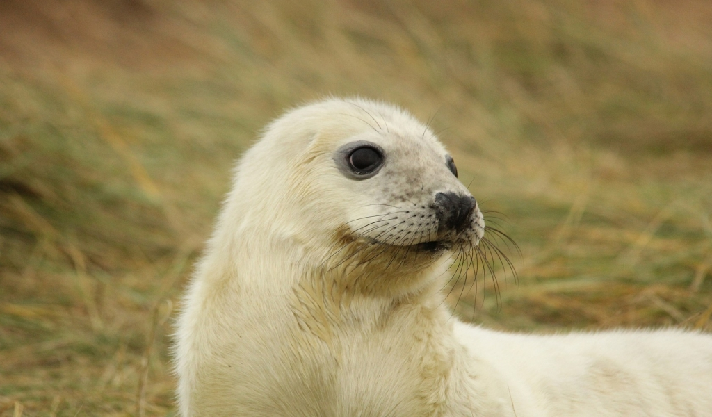 White Baby Seal for 1024 x 600 widescreen resolution