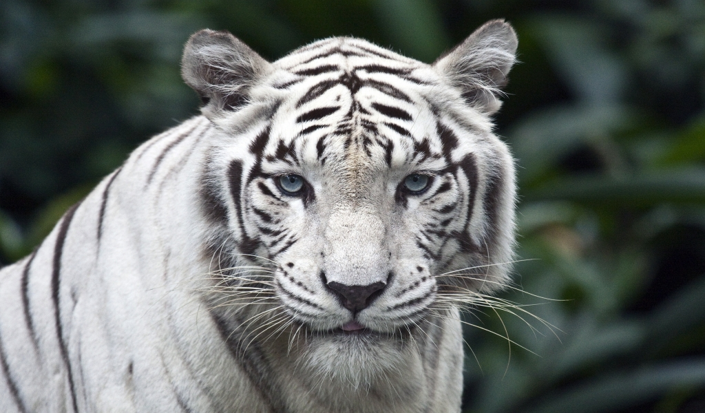 wallpaper tiger white. White tiger 1024x600 Wallpaper