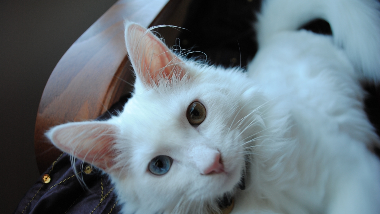 White Turkish Agora Cat with Odd Eyes for 1280 x 720 HDTV 720p resolution