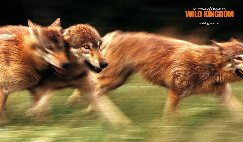 Wolves for 1024 x 600 widescreen resolution