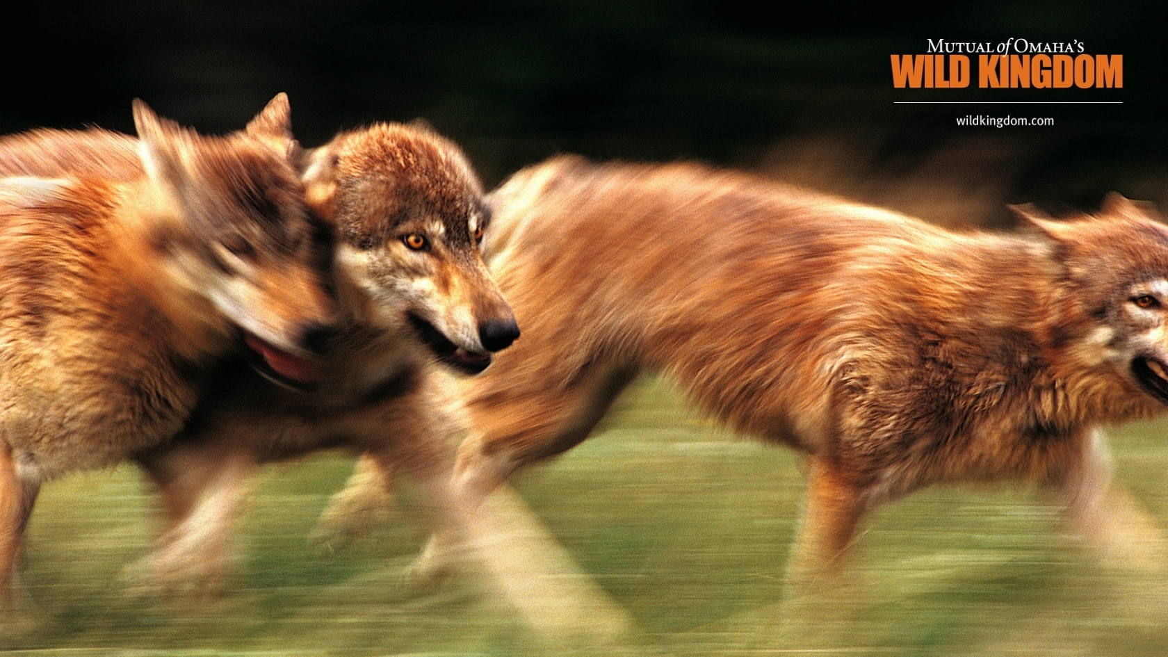 Wolves for 1680 x 945 HDTV resolution