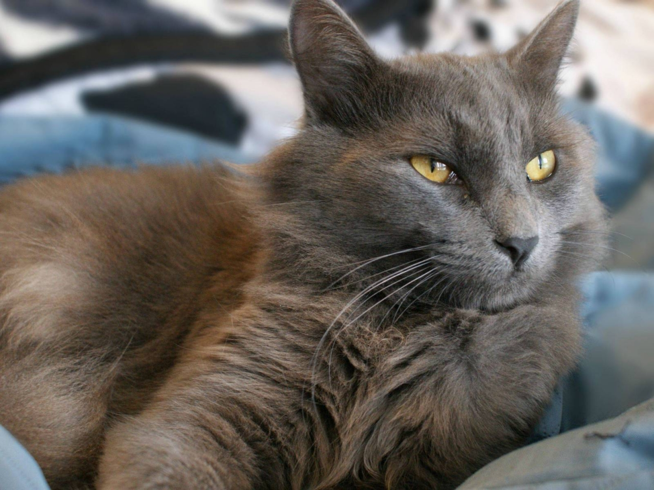 Yellow Eyes Nebelung Cat for 1280 x 960 resolution