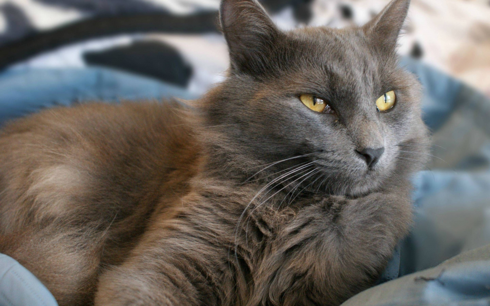 Yellow Eyes Nebelung Cat for 1680 x 1050 widescreen resolution