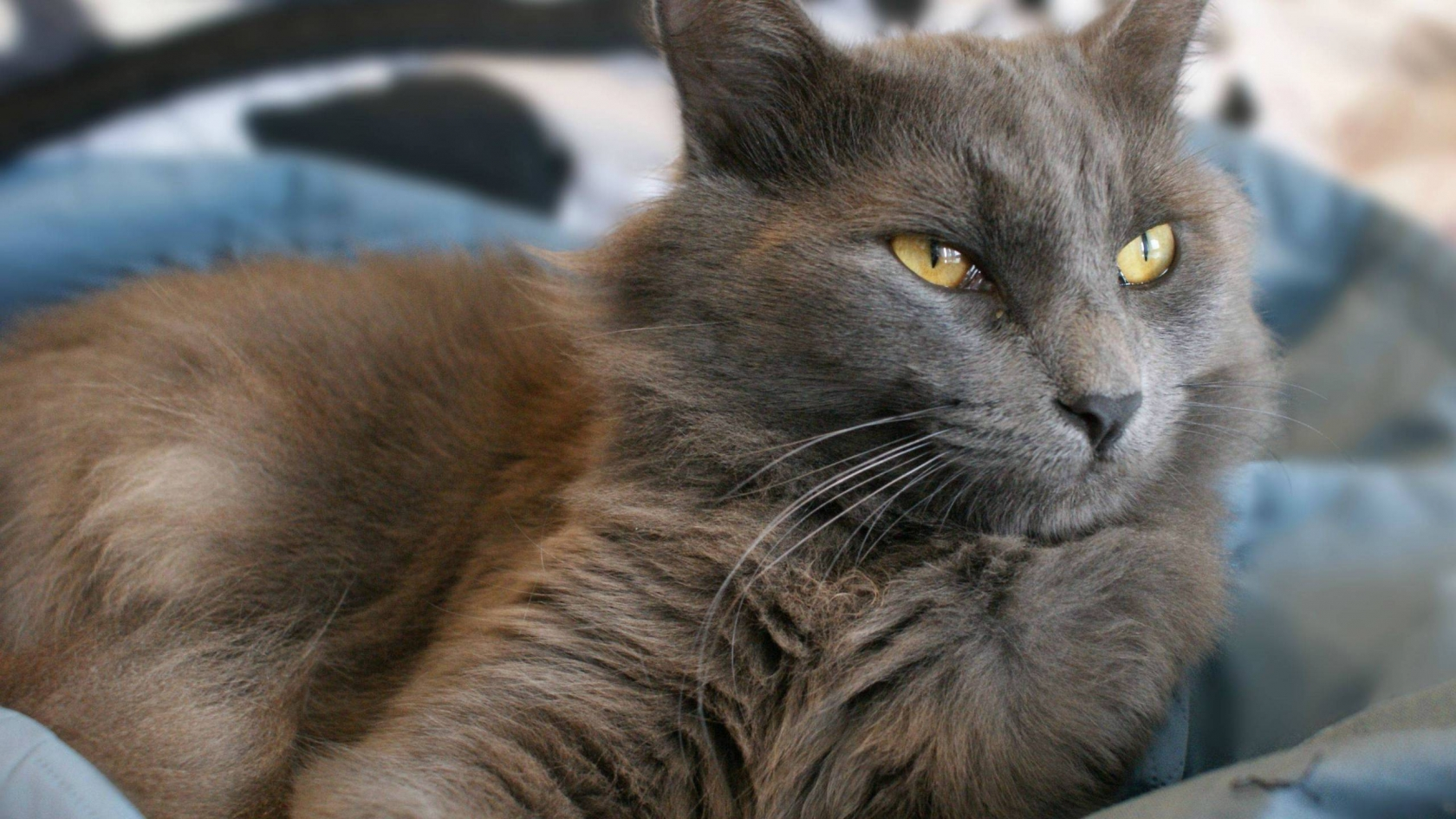 Yellow Eyes Nebelung Cat for 1680 x 945 HDTV resolution