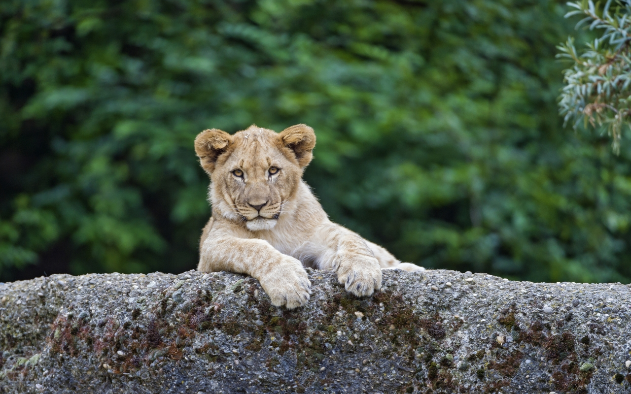 Young Cute Lion for 1280 x 800 widescreen resolution