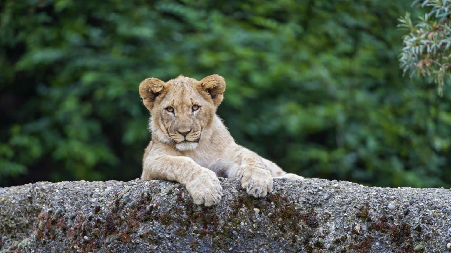 Young Cute Lion for 1536 x 864 HDTV resolution
