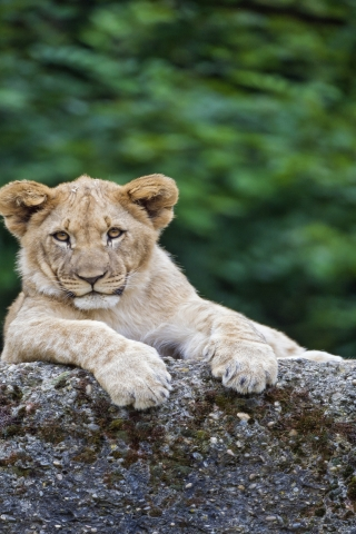 Young Cute Lion for 320 x 480 iPhone resolution